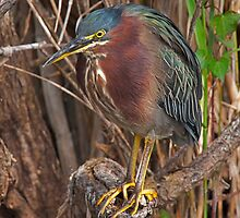 STOCK ~ Green Heron #3 by Rick & Deb Larson