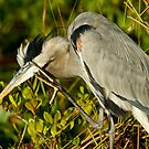 STOCK ~ Great Blue Heron #1 by Rick & Deb Larson