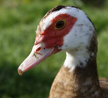 muscovy duck - shy smile by monkeyferret
