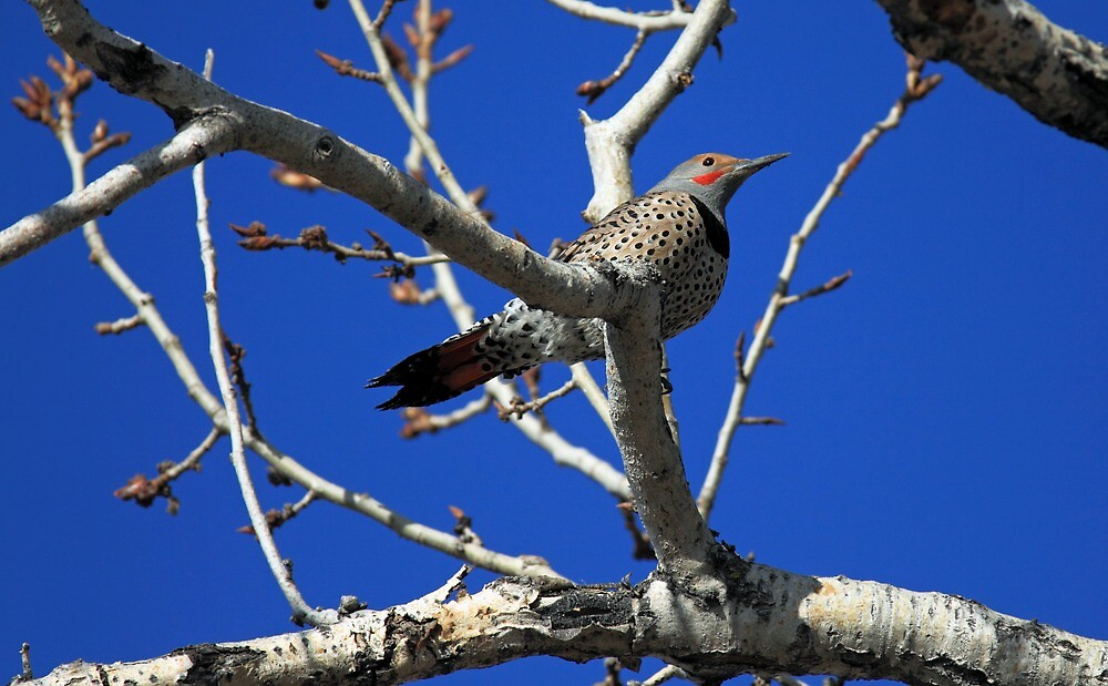 Northern Flicker by Michael Collier
