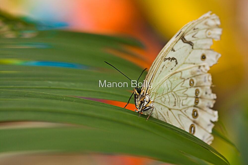 white morpho by Manon Boily