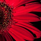 Red Gerbera by Laura Melis