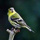 Siskin by Russell Couch