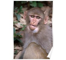 Young Rhesus Macaque with Food in Cheeks Poster