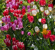 Tulips in my garden. by vadim19