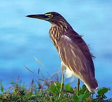 Pond Heron on Grass Varkala by SerenaB