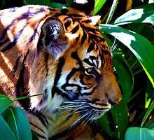 Sumatran Tiger by joshquag