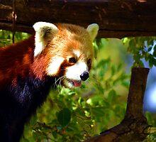Red Panda by joshquag