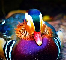 Mandarin Duck by joshquag