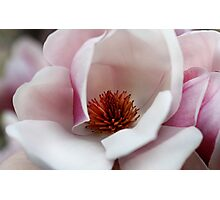 Saucer Magnolia Photographic Print