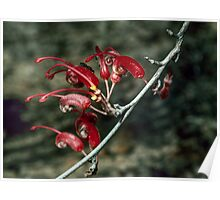 Insect on Grevillea tripartita flowers Ravensthorpe-Minglinop 19820901 0036  Poster