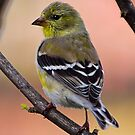 American Goldfinch by Anthony Roma