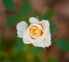 yellow rose by aurelie k