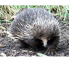 Hello Echidna Photographic Print