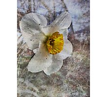 Daffodil in Grunge Photographic Print