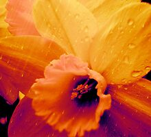 Rain on Daffodils by Carla Cummins