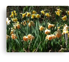 Garden of Daffodils Canvas Print