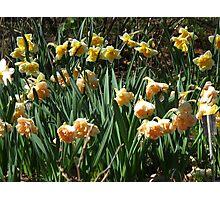 Garden of Daffodils Photographic Print