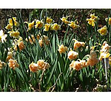 Garden of Daffodils Photographic Print