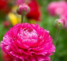 Ranunculus garden by Celeste Mookherjee