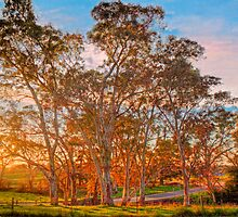 Sunset through the Gums - Oakbank, Adelaide Hills, South Australia by Mark Richards
