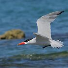 Caspian Tern by Tony Brown