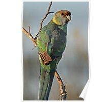 Eastern or Mallee Ringneck Poster