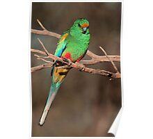 Mulga Parrot male Poster