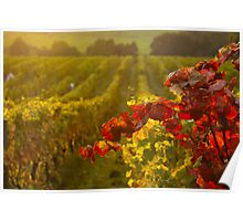 Golden light over Vineyard  Poster