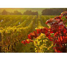 Golden light over Vineyard  Photographic Print