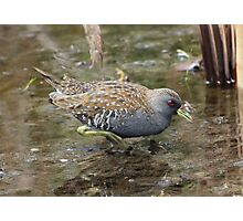 Spotted Crake (3A) Photographic Print