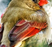 Female Cardinal Art Sticker