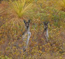 Bush Kangaroos by Tony Brown