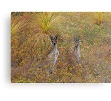 Bush Kangaroos Metal Print