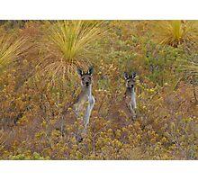 Bush Kangaroos Photographic Print
