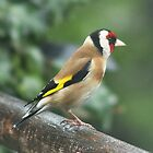 Goldfinch by Rivendell7