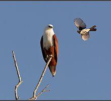 Brahminy Kite & Willy Wagtail by John Van-Den-Broeke