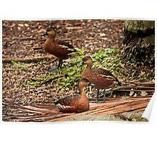 Whistling Ducks Poster