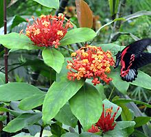 Butterfly on Lantana by kathrynsgallery
