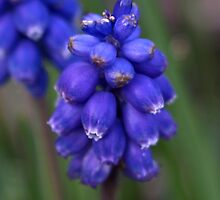 Grape Hyacinth (iPhone case) by redown