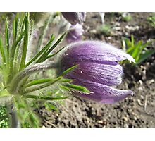 Spring Pasque Flower Photographic Print