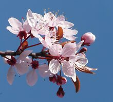 Cherry Blossom Against A Blue Sky by LoneAngel