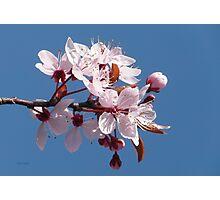 Cherry Blossom Against A Blue Sky Photographic Print
