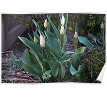 Bulbs of tulips Poster