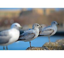 seagulls lined up Photographic Print