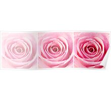 Pink Rose with Water Droplets Triptych Poster