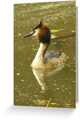 Crested Grebe - Funky hairdo  by steppeland