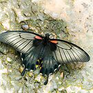 Low's Swallowtail by Matthias Keysermann