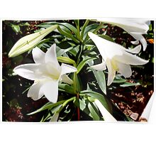 Easter lily blooms Poster