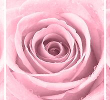 Plum Rose with Water Droplets Triptych by Natalie Kinnear